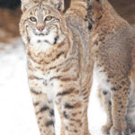 Bobcat sighting grows; some near Madison County