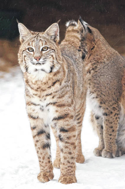 The bobcat has short, dense, soft fur. Their coat color varies to include light gray, yellowish brown, buff, brown, and reddish brown on the upper parts of the body. The fur on the middle of the back is frequently darker than that on the sides. Under parts and the inside of the legs are generally whitish colors with dark spots or bars. The back of the bobcat's ears are black with white spots. The top of the tip of the ears are black; on the lynx, a cousin of the bobcat, the entire tip of the ear is black. The bobcat's tail is also black.