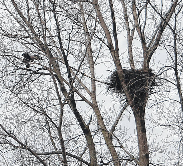 A bald eagle nest currently sits high above the Deer Creek inflow at Choctaw Lake. It's likely there are already eggs in the nest.